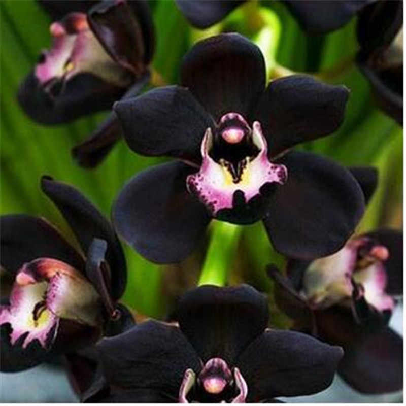 20 ピースユニークな黒シンビジウム Faberi 庭の花盆栽開花植物蘭の花盆栽
