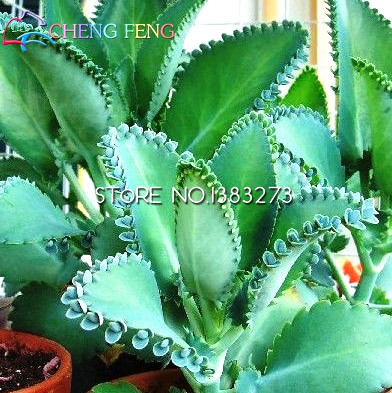 Kalanchoe Plants Reviews Online Shopping Kalanchoe