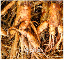 100 PCS Big Sale!Chinese Ginseng , Panax ginseng Seeds , Potted Bonsai Plant Flower Seeds for Home Garden