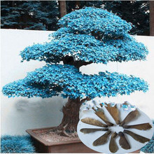 Classical 10 different colors Japanese maple seeds mini bonsai seeds bonsai tree seeds Maple Seeds Home Garden bonsai 10 PCS