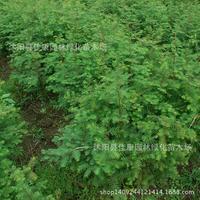 fir tree plant comb precious species living fossil water fir fir plant germination rate high 200g / Pack