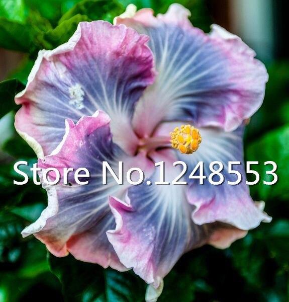 achetez en gros hibiscus couleurs en ligne à des grossistes