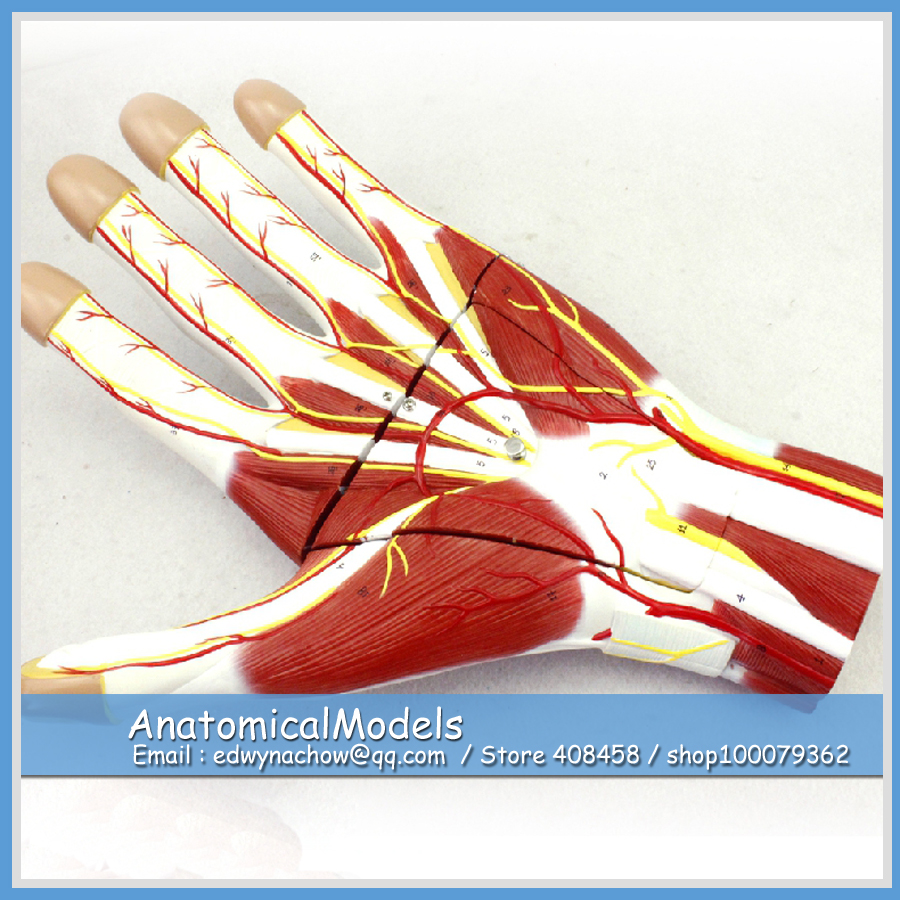 ED MUSCLE09 Larged 2x Life Size Hand Vascular Verves Anatomy 3 parts ...