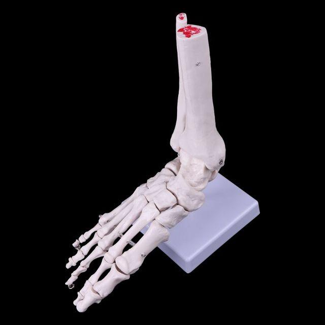 العلوم الطبية الاكسسوارات الحياة حجم القدم الكاحل مشترك التشريحية قالب هيكل عظمي الطبية عرض دراسة أداة دروبشيبينغ