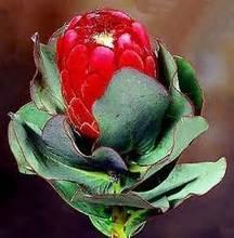Rare Protea Cynaroides Seeds, 20pcs/pack
