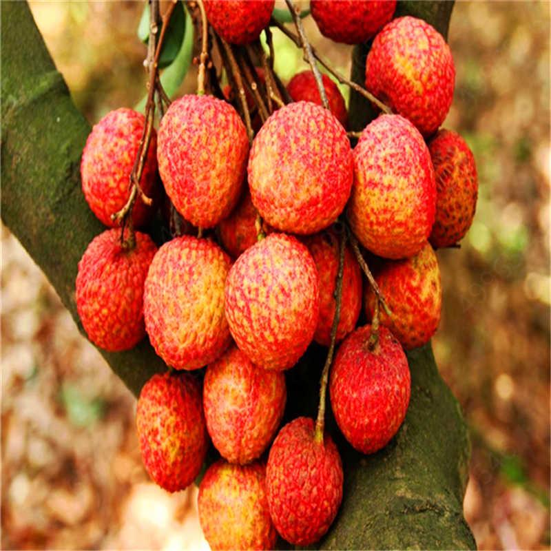 2 قطعة/الحزمة مزيج 100% الحقيقي الليتشي بونساي نبات شجرة الفاكهة الاستوائية في بونساي ، الأحمر والأصفر نبات الليتشي لحديقة المنزل