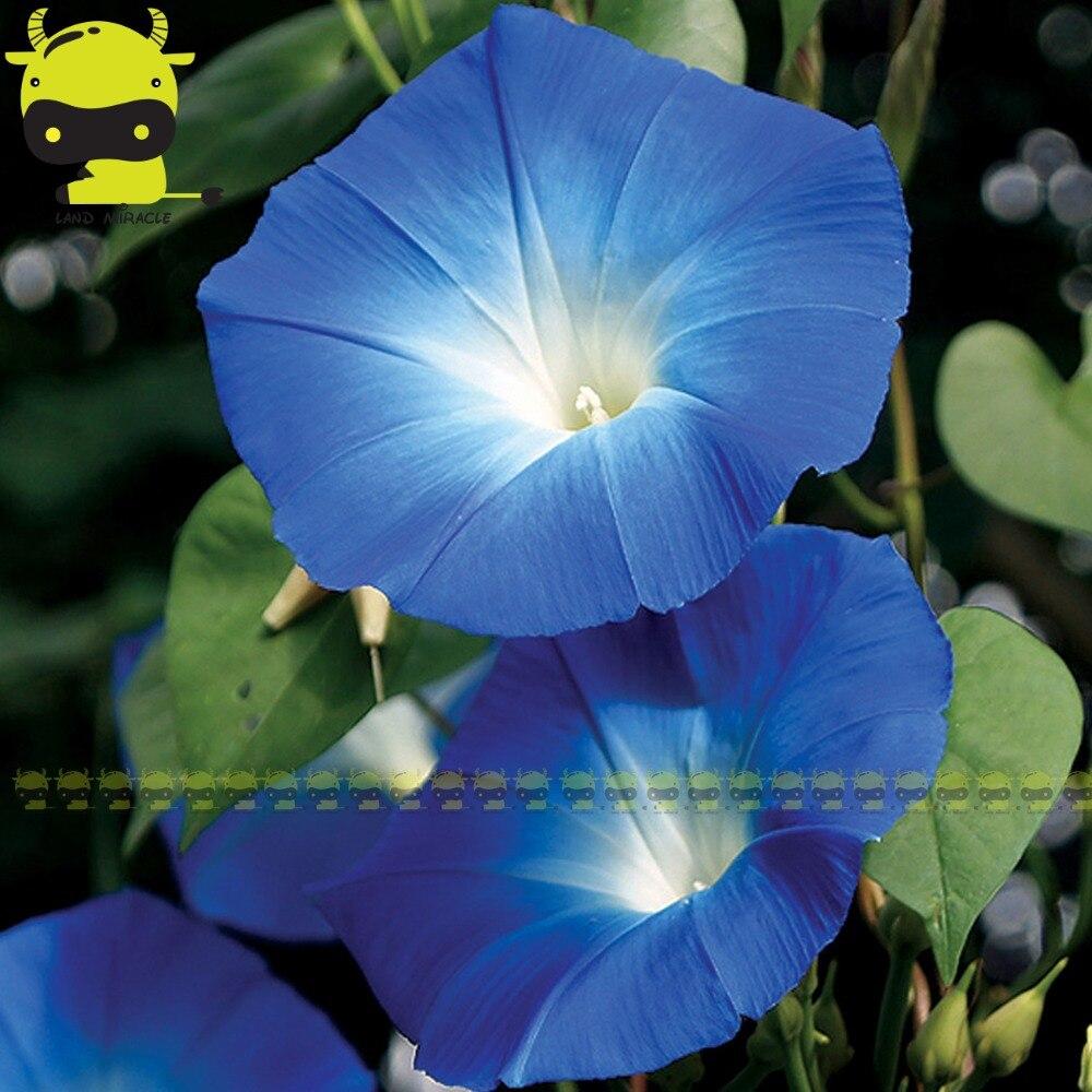 100 Real Heavenly Blue Morning Glory Seeds 50 Seedspack Ipomoea