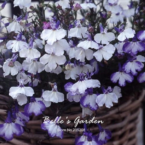 100pcs Regatta Blue Splash Lobelia Seeds Balcony Bonsai Flower
