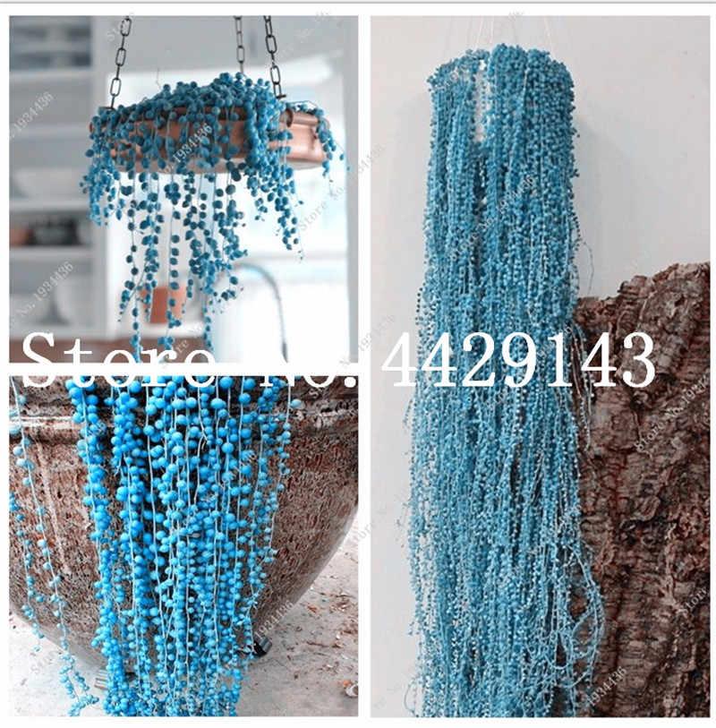 100 יח'\שקית כחול פרל Chlorophytum בונסאי חרוזים גן Succulentas בונסאי לספוג פורמלדהיד בעציץ מקורה אוויר טיהור