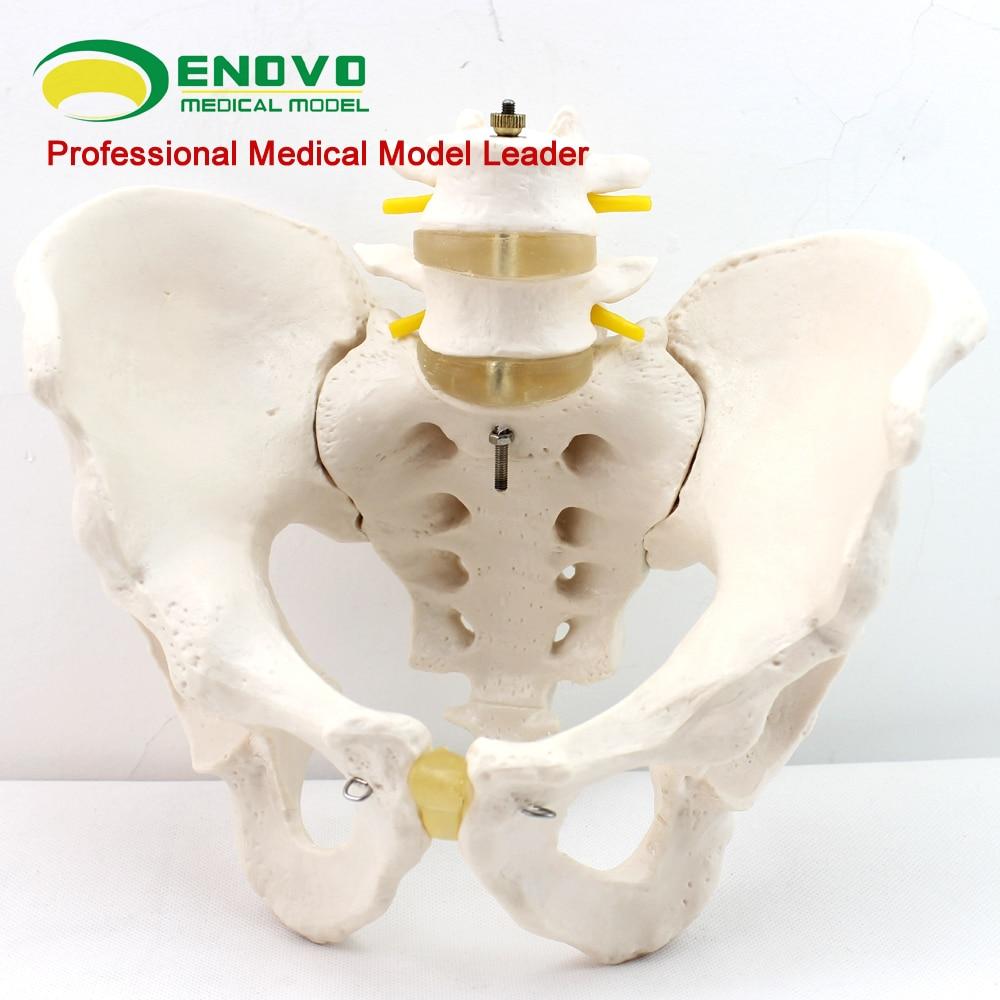 Male pelvis model two lumbar spine hip sacrum coccyx skeletal human ...