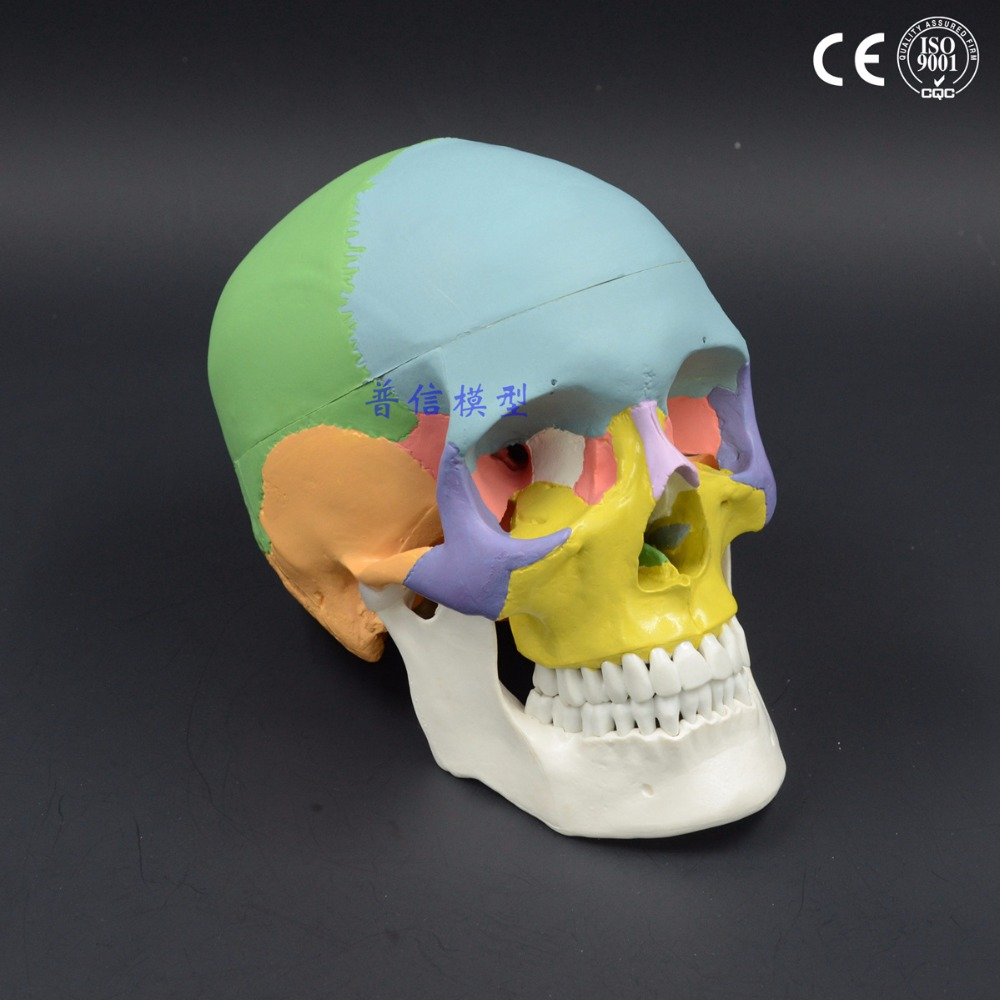 1:1 color head model, the natural human,skull, adult head, the anatomy of the medical 19x15x21cm cmam nasal01 section anatomy human nasal cavity model in 3 parts medical science educational teaching anatomical models