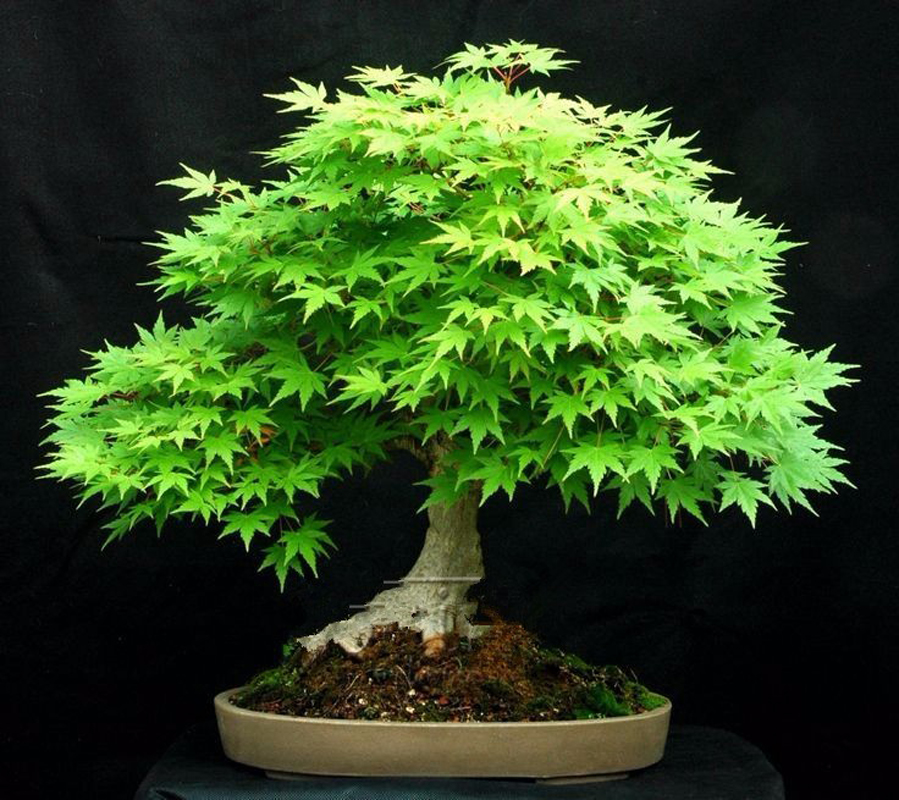 20 Pcs Blue Maple Bonsai Tree For Home Leloye