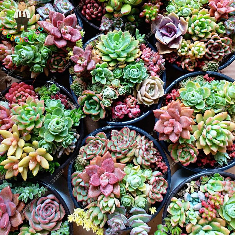 100pcs Colorful Succulents Cactus Seeds Lithops Seed ...
