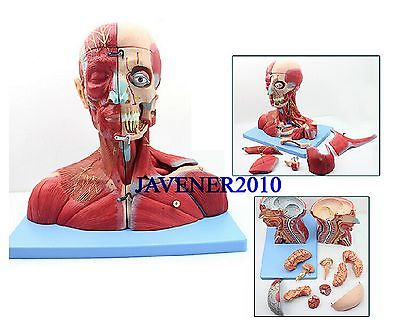 Human Anatomical Anatomy Head-and-Neck Medical Model Median Sagittal Section human female pelvic section anatomical model medical anatomy on the base