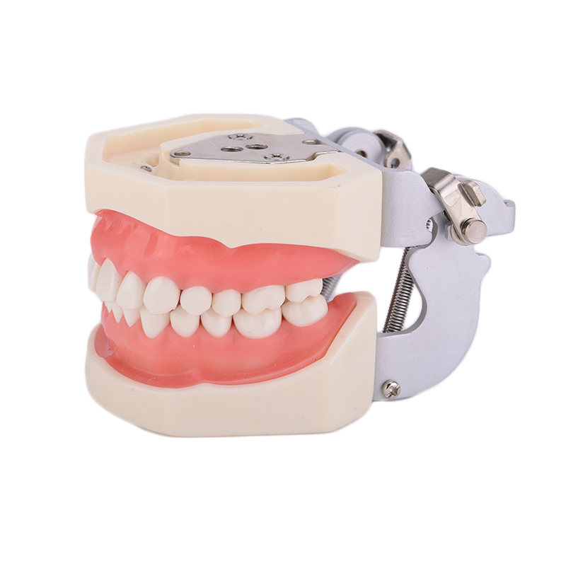 Denture Dental Teaching Standard Model Dental Teeth Model 28 tooth with FE Articulator 2017 Hot good quality magical science teeth tooth teaching model 1 1 scale adult oral standard typodont demonstration with 28pcs teeth fixed immovable