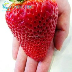 300/bag Giant Strawberry plants Rare Big Diy plant bonsai Fragaria Fruit bonsai For Home Garden flower Plants Cherry Berry semen 2