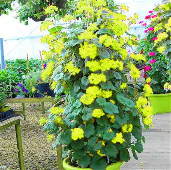 100 szt rzadkie wspinaczka Geranium Pelargonium Peltatum drzewo Bonsai wieloletnich kwiat kryty pokoje ogród doniczkowa roślina Easy rosną tanie i dobre opinie Kwitnące rośliny Mini duże małe średnie Wykluczone Bardzo proste Upiększających Rośliny ogrodowe Subtropikalnych
