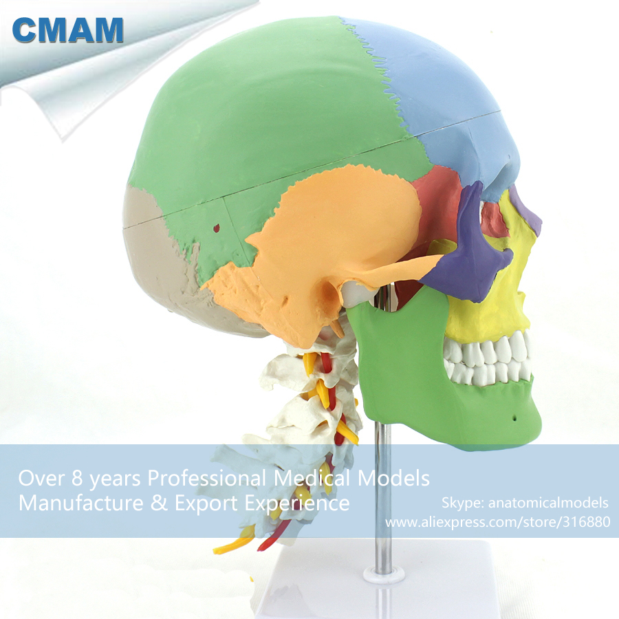 12337 CMAM-SKULL11 Medical Anatomical Human Skull Model with Cervical Spine, Medical Teaching Anatomical Models shunzaor dog ear lesion anatomical model animal model animal veterinary science medical teaching aids medical research model