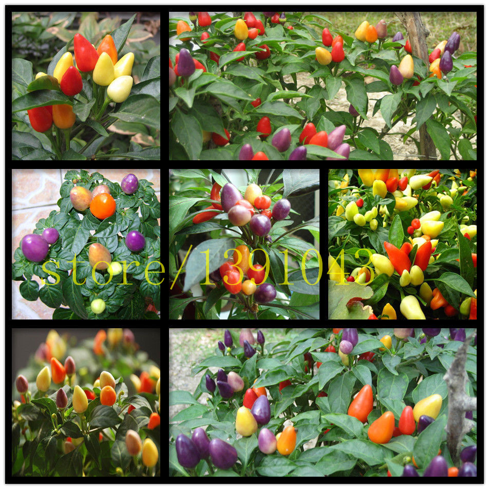 200 pcs rainbow pepper seeds ,chil rare chilli seeds, NO-GMO vegetable seeds for home ga ...