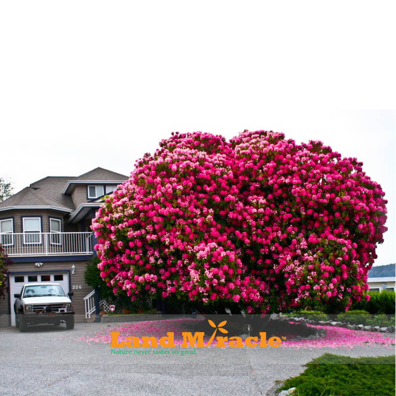 Amazing Pink Cherry Tree Anese Sakura Blossom Seeds 20pcs