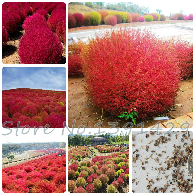 popular ornamental grass redbuy cheap ornamental grass red lots, Natural flower