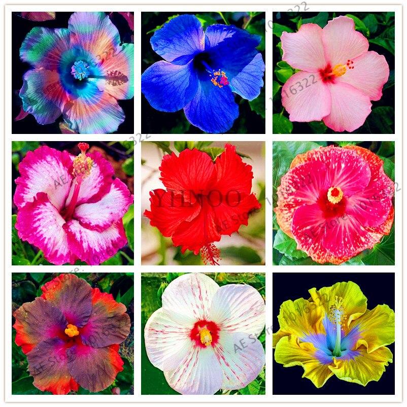 achetez en gros hibiscus couleur en ligne à des grossistes