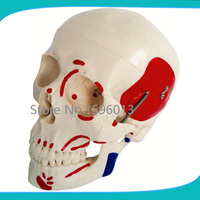 Human Life Size Skull with Painted Muscles model,human skull model