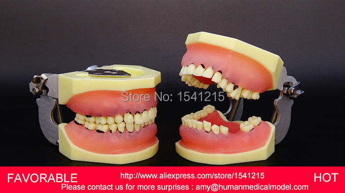 DENTAL TEETH , DENTAL DENTURES TEACHING TOOTH MODEL DENTAL TEETH MODEL,DENTAL TEETH -GASEN-DEN012 good quality dental removable dental model dental tooth arrangement practice model with screw teaching simulation model