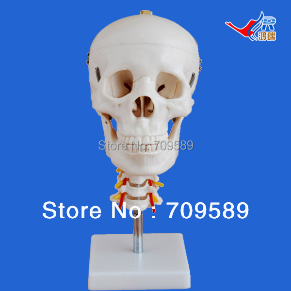 ISO Skull Model with Cervical Spine, Anatomical Skull model iso advanced infant skull model anatomical skull model