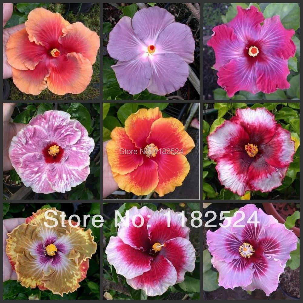 100 Mix Rare Tropical Hibiscus Seeds Flower Plant Seeds A106
