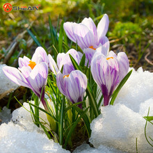 Шафран садовый цветок