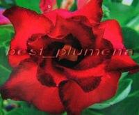 100 Genuine Triple Ruby Adenium Obesum Seeds 100 SEEDS Bonsai Desert Rose Flower Plant Seeds