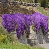 Perennial Flowering groundcover seeds for home garden,Purple Rock Cress - 50pcs/lot