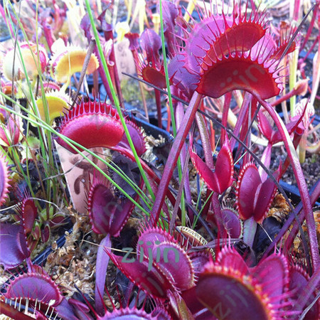 100PCS / Pack Potted Insectivorous Plant Bonsai Dionaea Muscipula Giant Clip Venus Flytrap Garden Carnivorous Plant