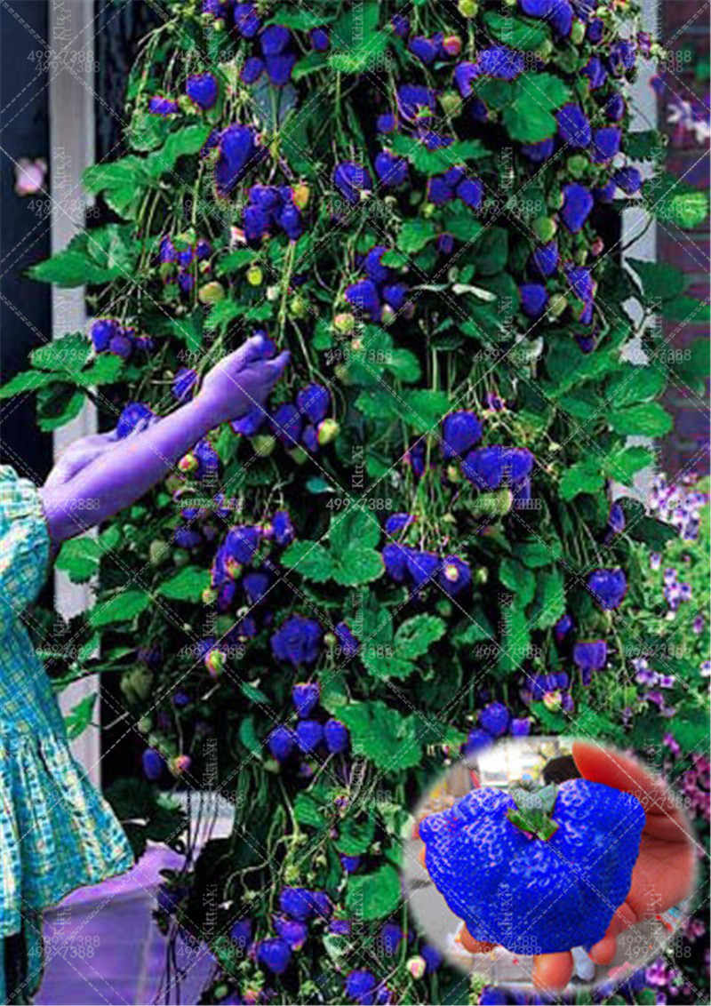 New 1000 Pcs 100% Germination Super Giant big Blue Strawberry Fruit Bonsai Apple Size Home Garden Bonsai New store discount