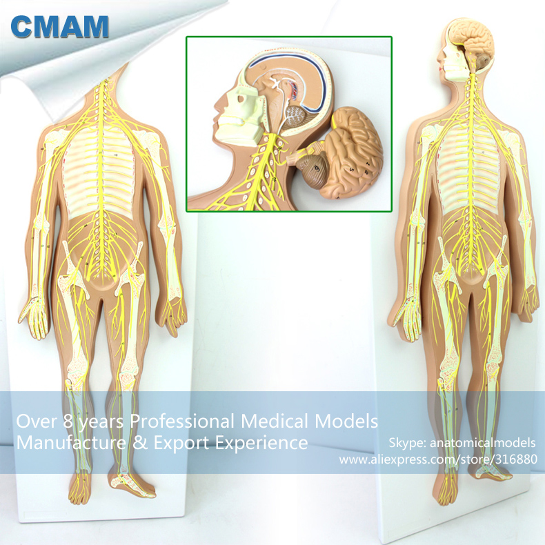 12416 CMAM BRAIN18 Removable Brain Parts Nervous System Anatomical ...