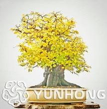 Korean Turczaninowii Carpinus Hornbeam Seeds 10PCS