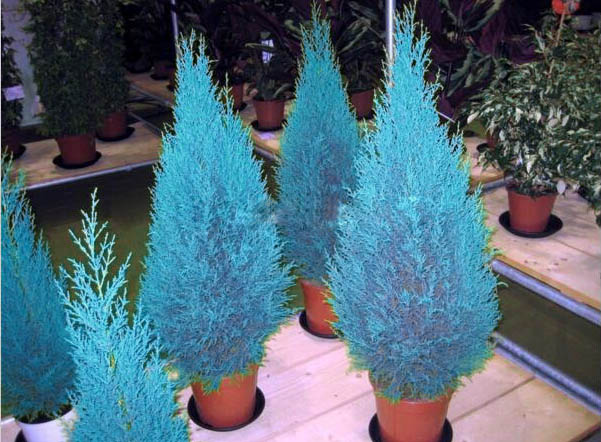Hot 30 pcs/bag arborvitae arborvitae blue cypress conifer seed seeds DIY home garden free shipping