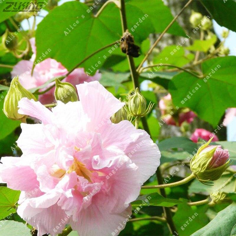 Achetez en Gros rouge hibiscus plantes en Ligne à des Grossistes ...