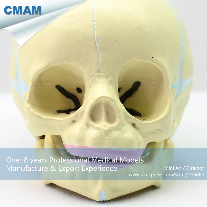 12330 CMAM-SKULL04 Human Skeleton Fetal Skull Baby Infant Anatomy Model, Medical Science Educational Teaching Anatomical Models 1 2 life size knee joint anatomical model skeleton human medical anatomy for medical science teaching
