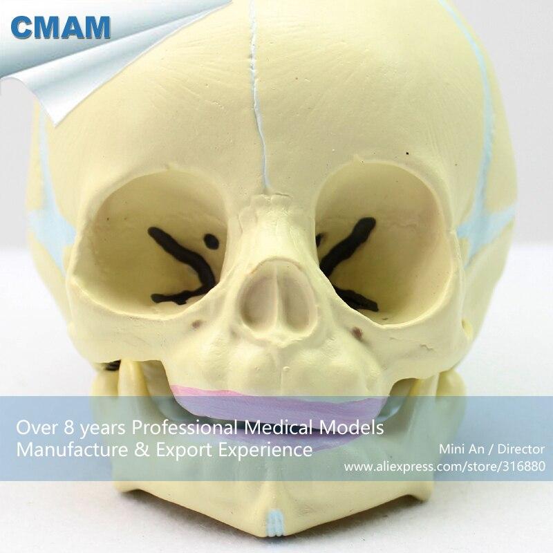 12330 CMAM SKULL04 Menschliches Skelett Fetal Schädel Baby Infant ...