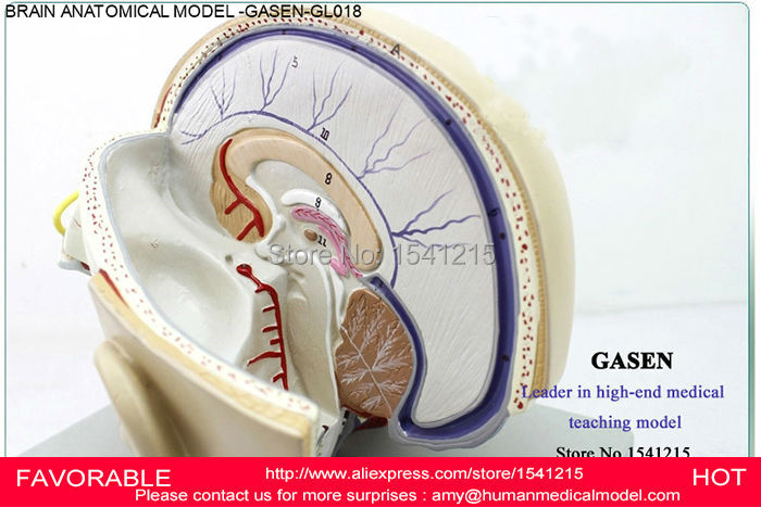 MEDICAL HUMAN BODY MEDICAL HUMAN MEDICAL BRAIN ANATOMY ORAL BRAIN NOSE HUMAN BRAIN THROAT MODEL HUMAN