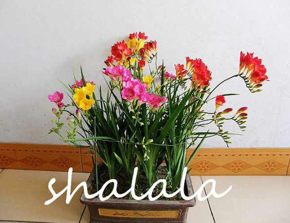100 pcsFragrant Kar orkide Kafa Parti Ev Dekor ve Düğün Dekorasyon çiçek ışık Up Ev Yüksek Dereceli Bonsai frezya
