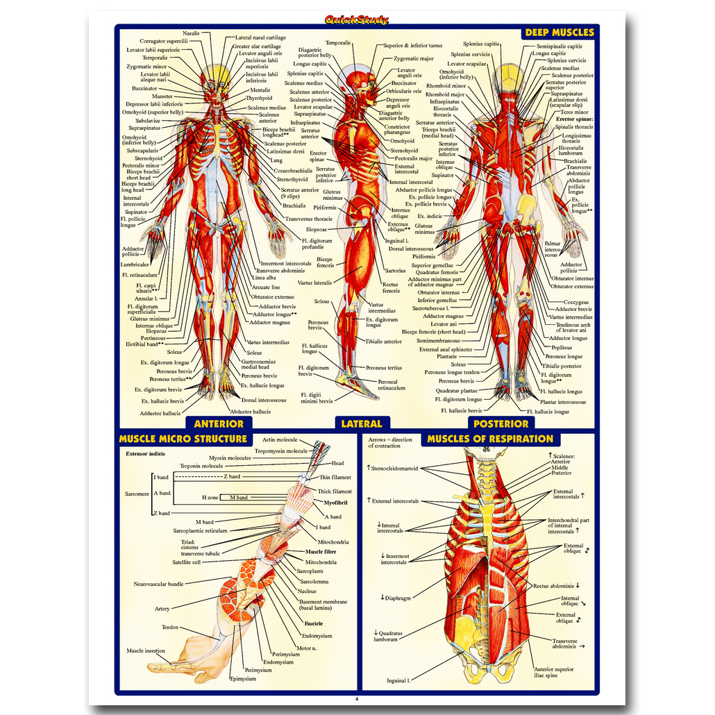 NICOLESHENTING Human Anatomy Muscles System Art Silk Poster 13x18 24x32 inch Body Map Pictures for Medical Education 009 ...