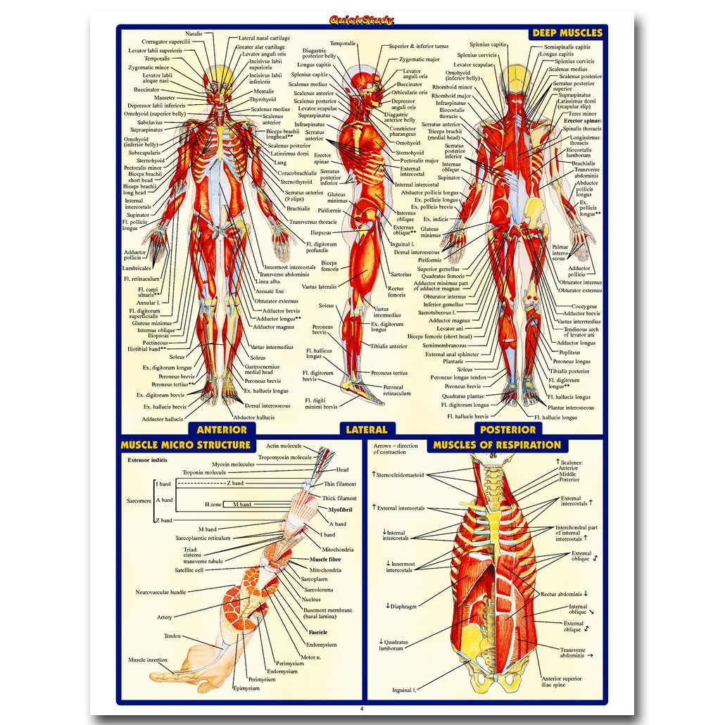 Nicoleshenting Анатомия человека мышцы Системы Книги по искусству Шелковый плакат 13x18 24x32 inch Для тела Географические карты фотографии для Спецодежда медицинская образование 009