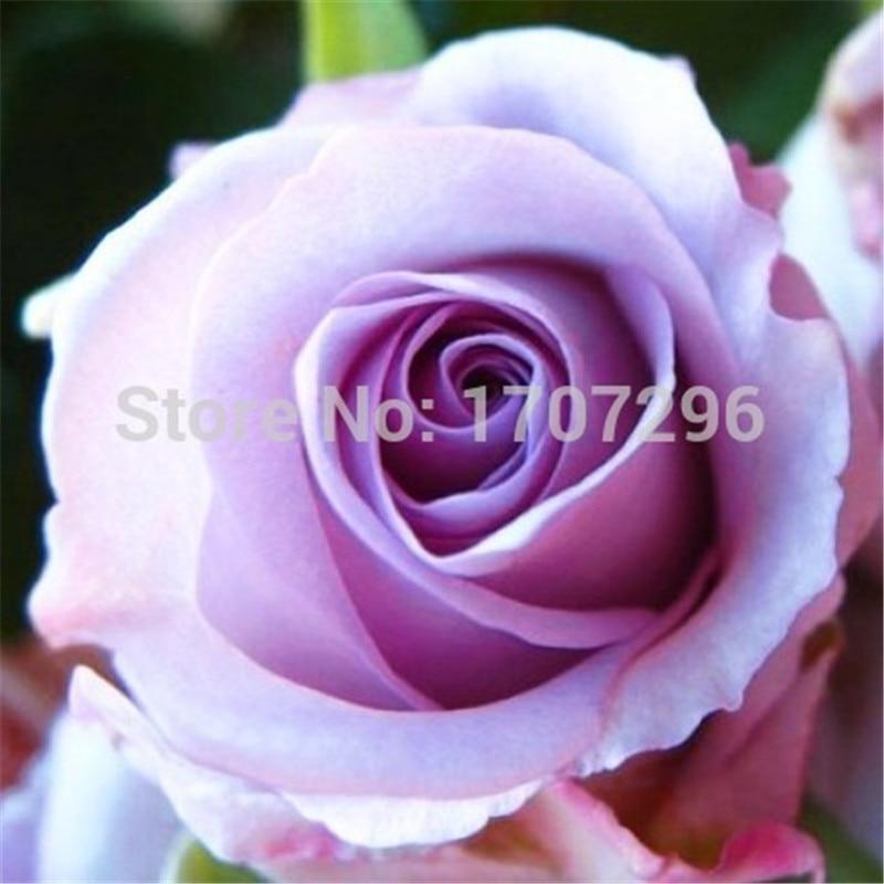 50 шт./лот Семена Китай Редкие Song of the Sea розы ...