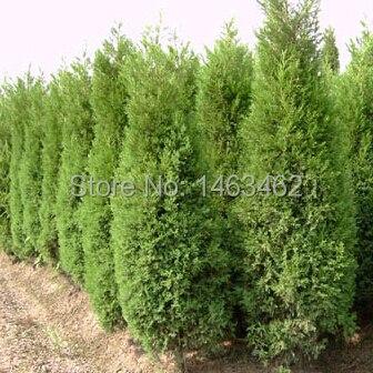50PCS / bag Cypress Seeds, <font><b>Roads</b></font> <font><b>Green</b></font> Plants Vertical Beautiful tree seeds free shipping