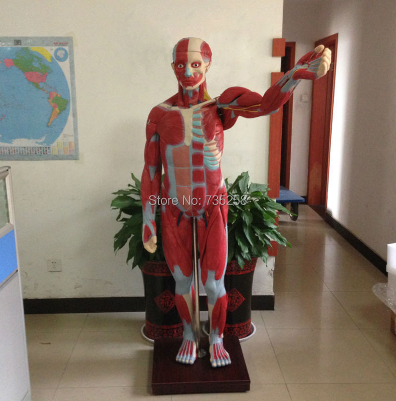 ISO 170cm Body Muscles Anatomical Model,Human Muscle Breakdown Model,Muscle Anatomy Model human larynx model advanced anatomical larynx model