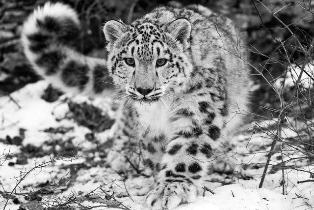 Snow Leopard Hunting Attention Black And White Poster Silk Fabric Cloth Print Wall Sticker Decor Custom