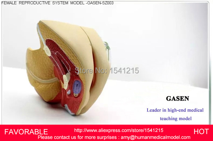 LIFE SIZE ANATOMY AND BIOLOGY EDUCATION FEMALE PERINEUM,MALE PERINEUM ANATOMY MODEL, ANATOMY PERINEUM MODEL-GASEN-SZ003